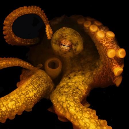octopus1-e1439319208676