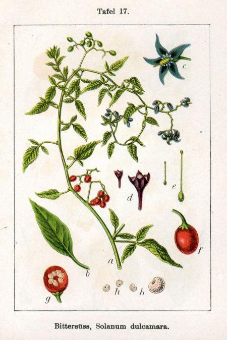 Solanum_dulcamara_Sturm17