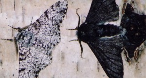 053116_ti_moth-butterfly_feat_free