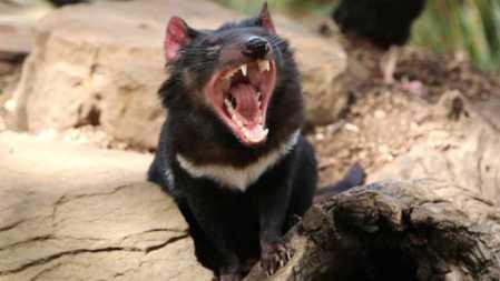 extra_large-1464383392-360-second-transmissible-cancer-found-in-tasmanian-devils