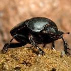 dung_beetle_thumb
