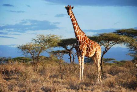 image_4179_1-reticulated-giraffe