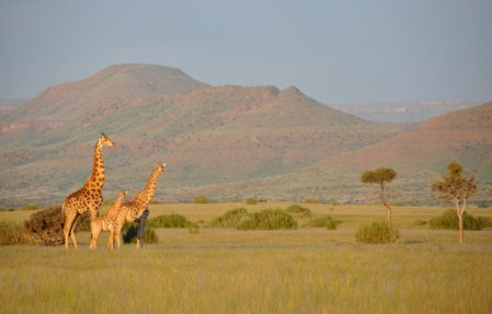 image_4179_2-angolan-giraffes