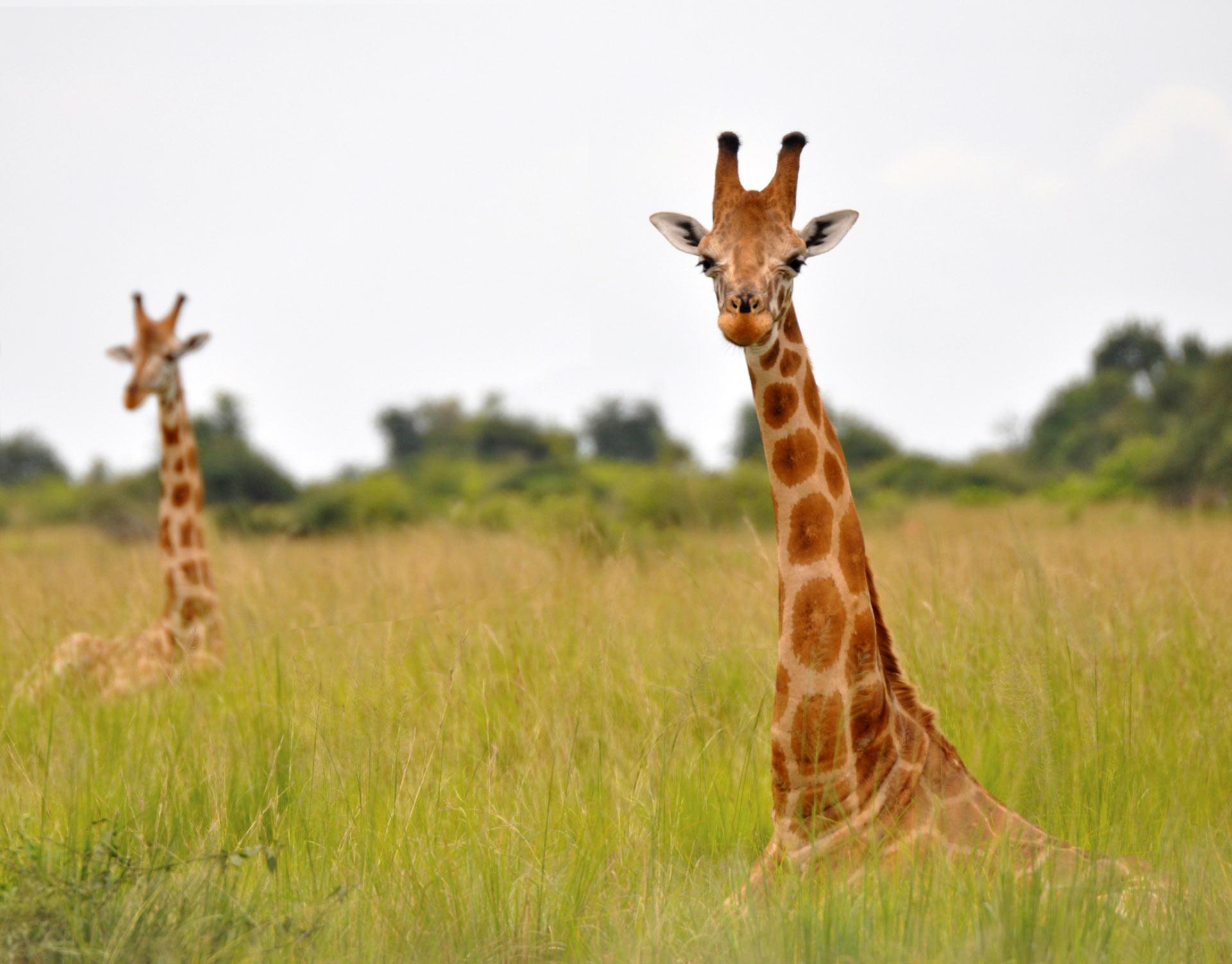 image_4179_3e-nubian-giraffe