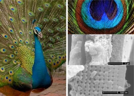 phc_peacock2
