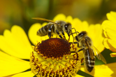 stock-photo-2166506-deux-abeilles-sur-une-future-mariee