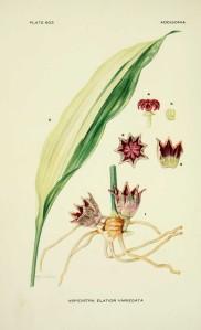 aspidistra-elatior-variegata---aspidistra-eleve