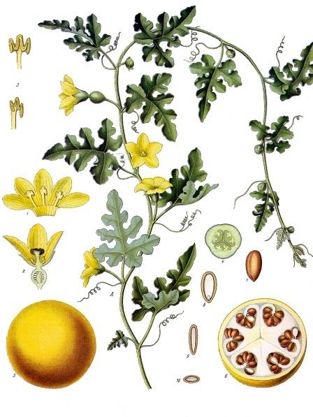 Citrullus_colocynthis_-_Köhler–s_Medizinal-Pflanzen-040